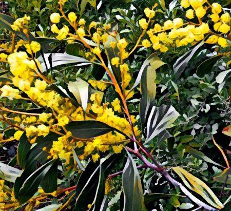 wattle yellow